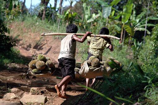 Anak-anak Baduy Luar ini harus menempuh perjalanan yang cukup jauh dan naik turun bukit menuju Ciboleger, ongkos angkut durian dihargai Rp. 500,- /durian. Satu kali angkut mereka bisa membawa 10 buah durian.