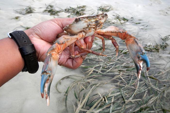 Selain bintang laut, di dekat  pohon bakau banyak ditemui jenis-jenis kepiting, jika beruntung anda bisa menemukan kepiting ukuran besar.