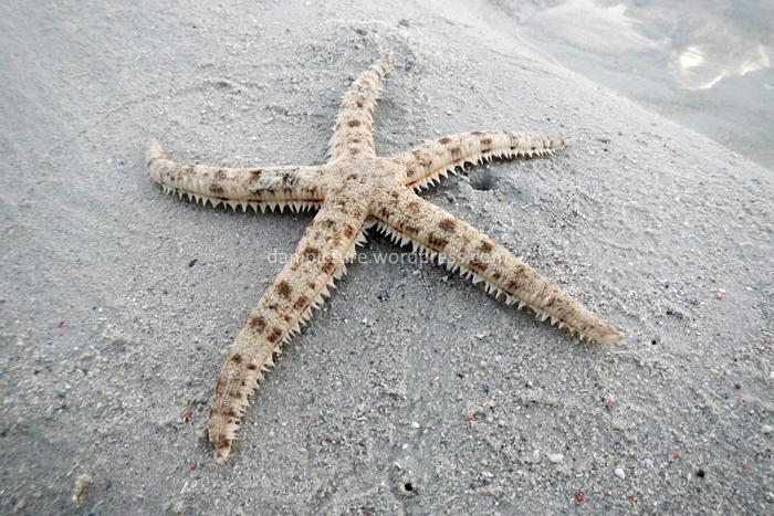 Bintang laut jenis seperti ini   sangat mudah ditemukan di pantai / perairan dangkal.