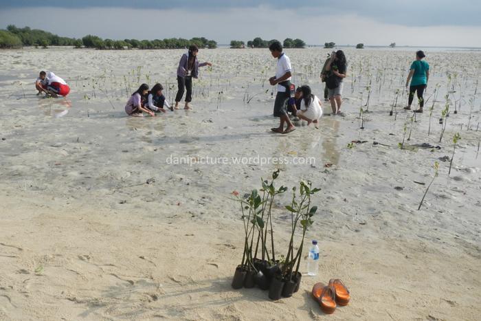 Aktifitas menanam bibit pohon bakau di pantai pasir Perawan
