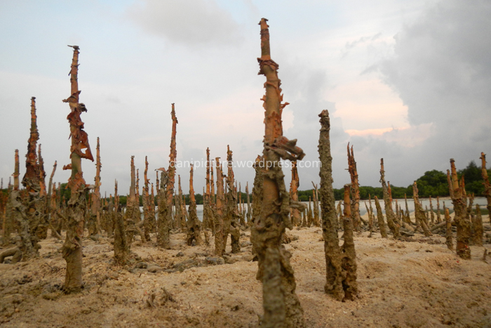 Akar-akar napas Sonneratia yang muncul dipermukaan tanah. Akar-akar ini berfungsi dalam pernapasan tumbuhan mangrove/bakau pada habitat yang asin dan jenuh dengan air.