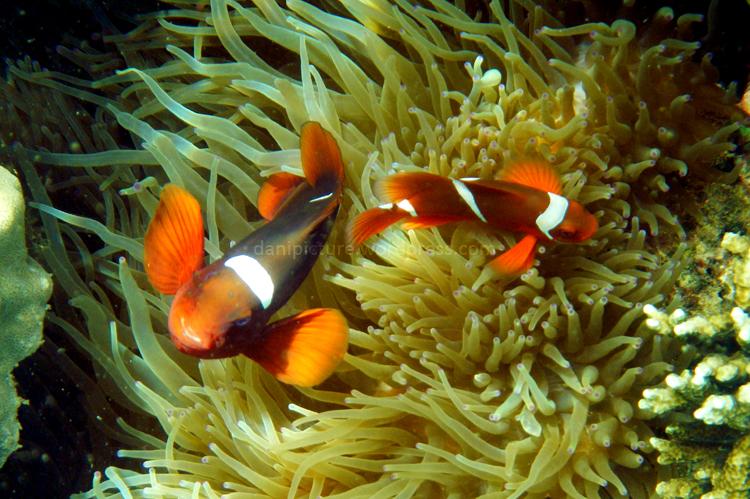 Ini dia makhluk yang dicari-cari para pecinta snorkling...Ikan Memo...jika anda jeli, di sini banyak dijumpai ikan nemo dengan anemonnya